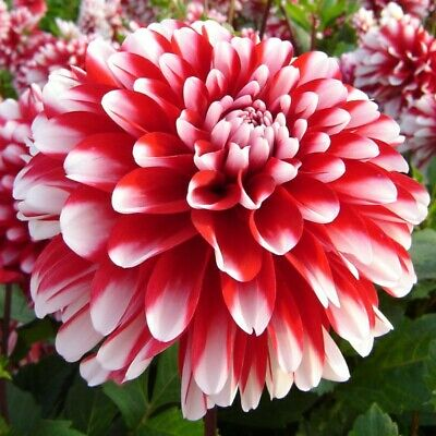 Dahlia Little Tiger 8 X Tubers Ready To Plant Now PERENNIAL GROWS EVERY YEAR • 10.50£