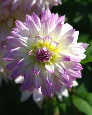 Dahlia Crazy Love 1 X Root With 8 X Tubers Ready To Plant Now PERENNIAL • 10.50£