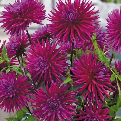 Dahlia Purple Gem Root Plant X 1 With 6+ Tubers  Ready To Plant Now PERENNIAL • 10.50£