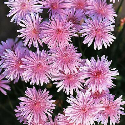 £1.99 • Buy Thompson & Morgan Crepis Rubra Seeds Hardy Annual Garden Plant 1 Pack 500 Seeds