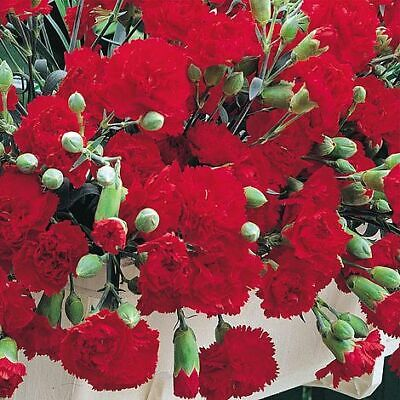 £0.99 • Buy Thompson & Morgan Dianthus Caryophyllus Trailing Carnations Mixed Garden Seed