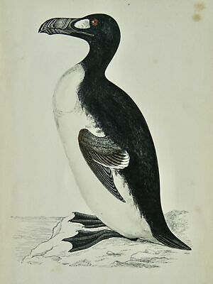 £14.95 • Buy C1867 Antique Print GREAT AUK A History Of British Birds By F.O. Morris