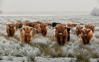£19.99 • Buy Herd Of Highland Cow - Large Wall Art Canvas Framed Picture 20x30 Inches