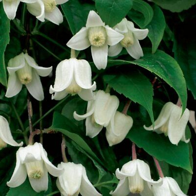 £23.15 • Buy 1x Climbing Clematis Plant Winter Flowering Evergreen Outdoors White In 7cm Pot
