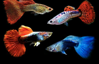 $20 • Buy Assorted Fancy Guppy-6 PACK-FAST SHIPPING-MIXED GENDERS