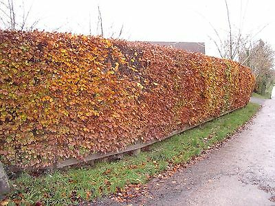 £46.99 • Buy 10 Green Beech Hedging 1-2ft 1L Pots Fagus Sylvatica Trees,Brown Winter Leaves