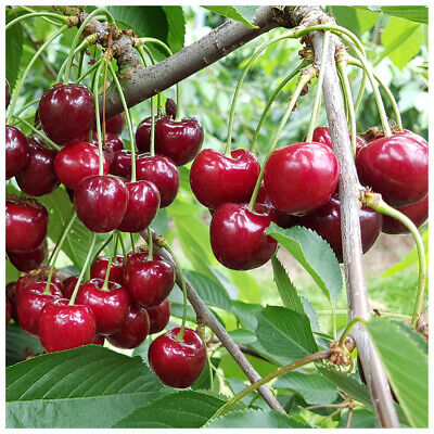£24.99 • Buy Morello Cherry Tree 3-4ft Self-Fertile,Ready To Fruit.Great For Jam & Pies