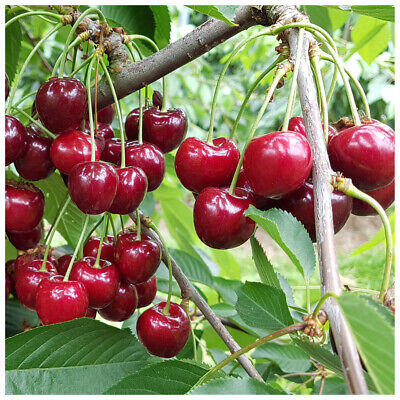 Morello Cherry Tree 4-5ft Self-Fertile,Ready To Fruit.Great For Jam & Pies • 21.99£