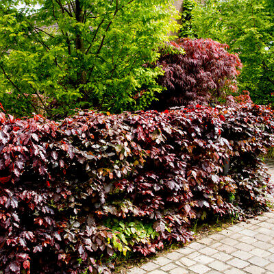 3 Copper Purple Beech Hedging 40-60cm Beautiful Strong 2yr Old Plants 1-2ft • 14.99£