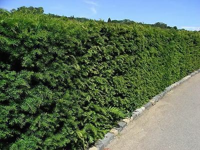 3 English Yew 1-2ft Hedging Plants,4yr Old Evergreen Hedge,Taxus Baccata Trees • 15.99£
