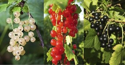 3 Mixed Currant Bushes - White, Red & Blackcurrant Bush In 9cm Pots • 21.99£