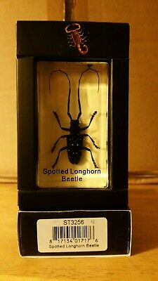 $12.99 • Buy Spotted Longhorn Beetle Real Insect PAPERWEIGHT Entomology Bug Resin NIB MB82