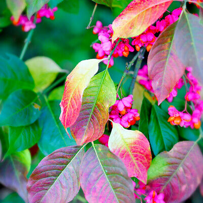 £29.99 • Buy Spindle Tree 4-5ft, Euonymus Europaeus, In 6L Pot, Beautiful Pink Autumn Berries