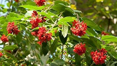 $6.95 • Buy 10 Seeds Cestrum Fasciculatum Early Jessamine Plant #Ornamental