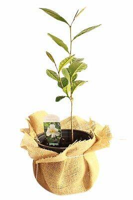 £14 • Buy Tea Plant Camellia Sinensis *HARDY UK GROWN FROM SEED*