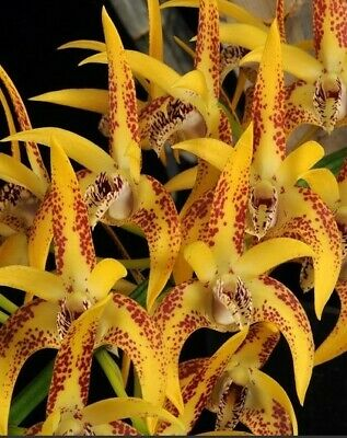 AU14.95 • Buy Dendrobium Avrils Gold RAY  50mm Pots ORCHID AON SPECIAL