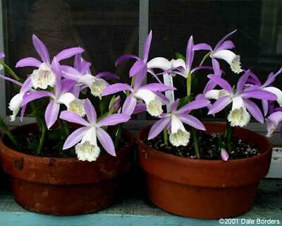 AU7.95 • Buy Pleione Formosana  Large  GREEN Bulbs World's Cheapest Flowering Orchid 1 Plant