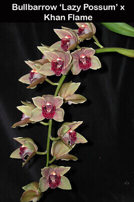 AU11 • Buy Cymbidium BULLBARROW X KHAN FLAME PENDULOUS   68mm Pot ORCHID