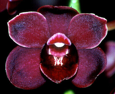 AU19.95 • Buy Cymbidium 1/2 PRICE NOW FRANCIE PORTER ENID FCC B/LEAD  68mm Pot ORCHID AON