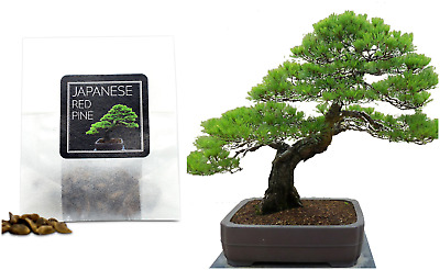 30 Japanese Red Pine Bonsai Seeds | Grow Your Own Bonsai Tree | Good Bonsai Gift • 2.99£