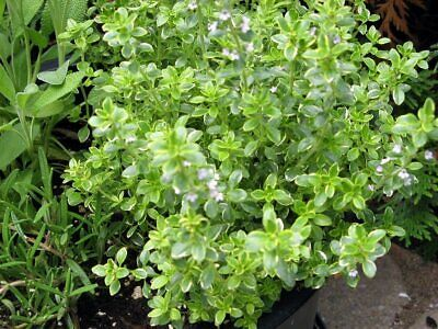 Organic Lemon Thyme Plants Culinary Kitchen Herbs Available Free UK Delivery • 5.95£
