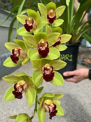 AU88 • Buy Cymbidium Orchid Famous Black And Green Pendulous Jack Hudlow Rememberance JHR1