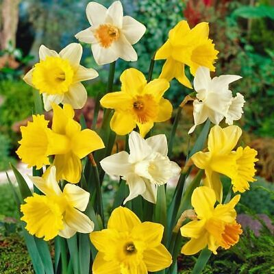 Daffodil Large Trumpet Mixed XL Bulbs Fresh Stock Spring Flowering Narcissus • 7.95£