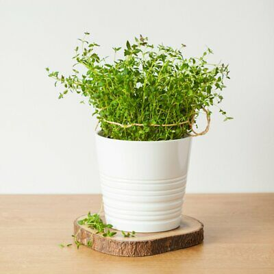 Organic Thyme Herb Seeds - 1250 Seeds Per Pack • 3.37£