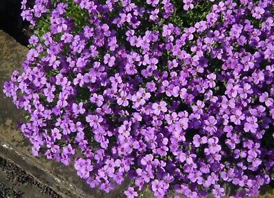 Purple Flowering Aubretia Hardy Perennial Plant NOT SEEDS • 3.25£