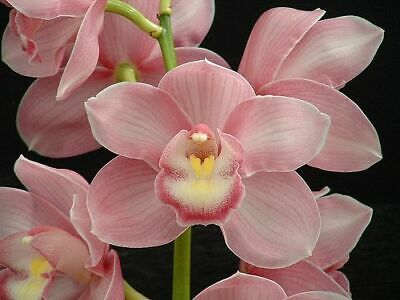 AU14.95 • Buy Cymbidium Sylva Atom   Slc 68mm Pot  Orchid Aon Super Low Run