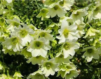 £23.95 • Buy 2x Clematis Sensation Fragrant Flowering Climber Evergreen Hardy Garden Plants