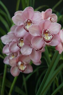 AU12.95 • Buy  Cymbidium John Wooden Paradisia' 100mm Pots FRESH 2021 STOCK  Orchid