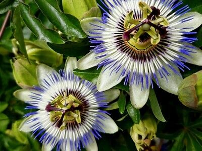 £5.99 • Buy Passion Flower Caerulea Hardy Perennial Climbing Plant.  WITH BUD.  (PFC1)