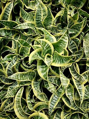 AU30 • Buy Sansevieria Twisted Sister Plant In 140mm Pot
