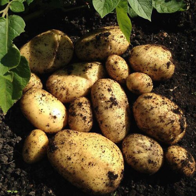 £112.95 • Buy MARIS PEER Seed Potato,Certified Seeds,X20 Seeds Potatoes Ready For Planting Now