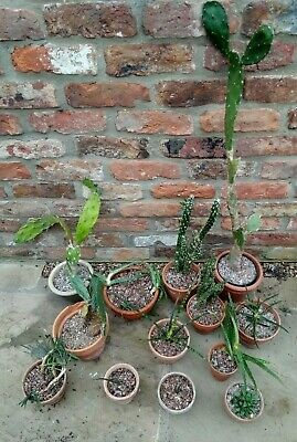 £0.99 • Buy Cactus And Succulent Collection - 13  Potted Plants - Opuntias, Aloe Vera+