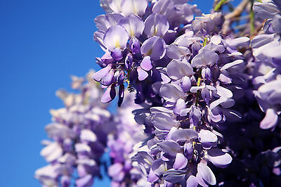 Wisteria Sinensis / Chinese Wisteria In A 2L Pot, Fragrant Flowers • 19.99£