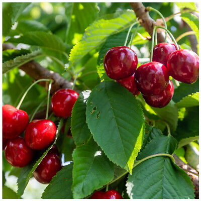 Lapins Cherry Tree 4-5ft Tall, Self-Fertile & Ready To Fruit, Heavy Cropper • 21.99£