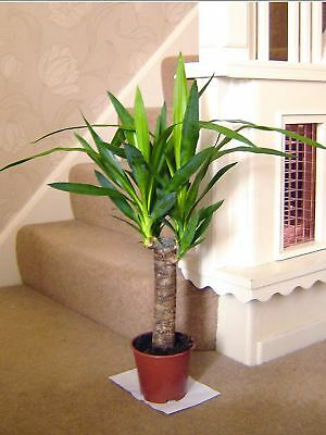 60cm TALL LARGE SPINELESS YUCCA ELEPHANTIPE EVERGREEN INDOOR HOUSE PLANT IN POT • 14.99£
