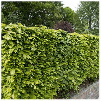 25 Green Beech Hedging Plants 2 Year Old, 1-2ft Grade 1  Hedge Trees 40-60cm • 26.99£