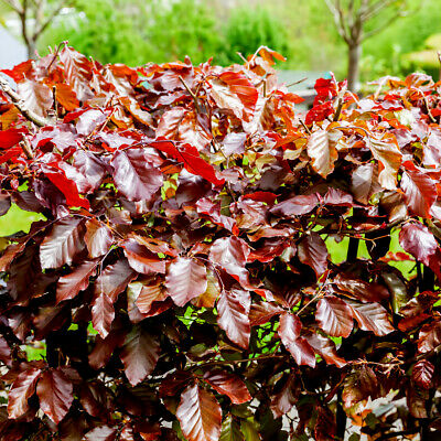 10 Copper Beech 3-4ft Purple Hedging Trees.Stunning All Year Colour 90-120cm • 49.99£