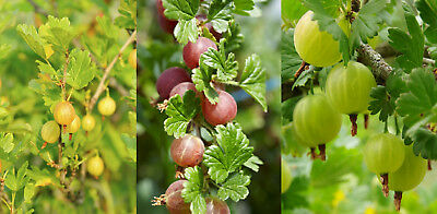 3 Mixed Gooseberry Plants - Red, Green And Yellow Bushes Ready To Fruit! • 27.99£