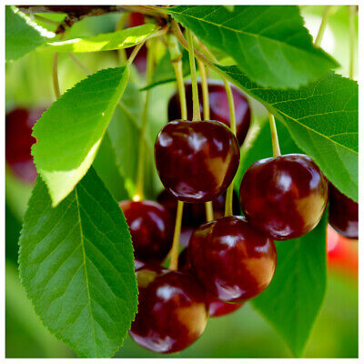 £39.99 • Buy 'Early Rivers' Cherry Tree 3ft 6L Pot Ready To Fruit,Large Dark Juicy Cherries