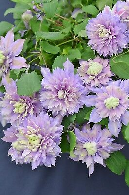 Clematis 'Diamantina' • 9.50£