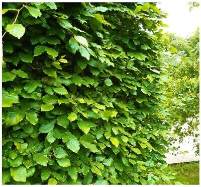 5 Green Beech Hedging Plants 3-4ft Fagus Sylvatica Trees,Copper Winter Leaves • 22.99£