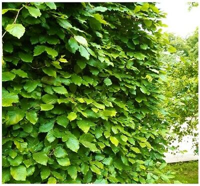 50 Green Beech Hedging Plants 3-4ft Fagus Sylvatica Trees,Copper Winter Leaves • 126.99£
