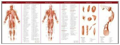 $ CDN22.39 • Buy Muscular And Skeletal Systems: Study Guide (Anatomical Chart Compan... Undefined