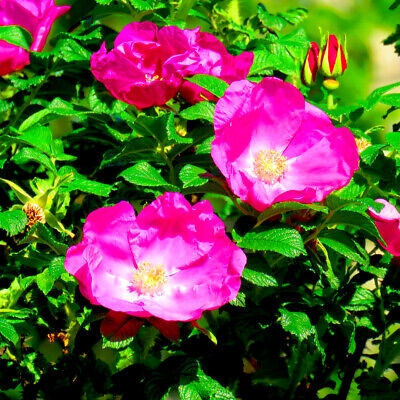 Wild Rose Hedging 40-60cm Plants,Rosa Rugosa, Stunning Flowers For 6 Months • 16.99£