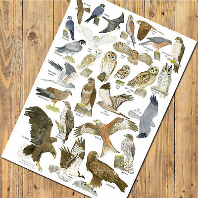 £8.90 • Buy A3 British Birds Of Prey And Owls Identification Chart Wildlife Poster
