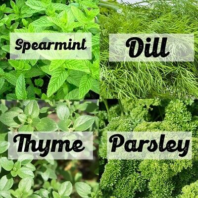 Spearmint, Dill, Parsley And Thyme Seeds | Natural Herb Seed Variety Pack • 5.49£